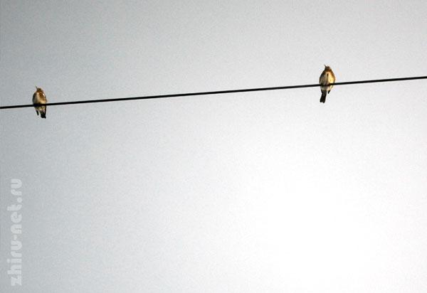 птицы-на-проводе