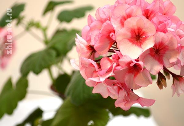 розовая-герань